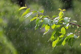 Rain on tree leaves