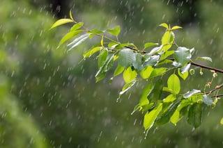 Rain on tree leaves