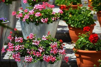 geranium in containers on commercial landscape