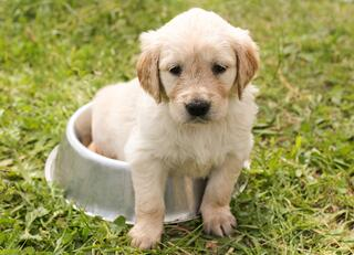 Puppy in bowl on grass
