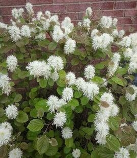 fothergillaflowers.jpg