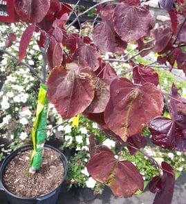 redbudverticillium.jpg