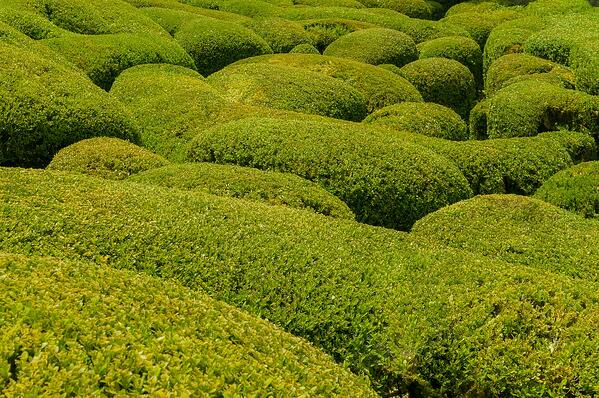 traditional boxwood pruning